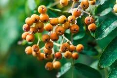 Dichte orange Beerengruppen und gefiederte Blätter der Eberesche oder der Eberesche, Baum, Sorbus aucuparia Stockfotos