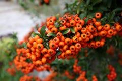 Dichte orange Gruppe der Ebereschenbeeren Stockfotos