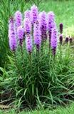 Dichte Sternmehrjährige pflanze Stockfoto
