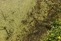 Dichte wasser--starwort Vegetation in einem Abzugsgraben Lizenzfreie Stockfotos