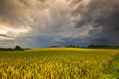 Dichte Wolken und Kornfeld Lizenzfreies Stockfoto