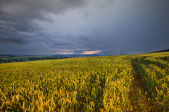 Dichte Wolken und Kornfeld Stockfoto
