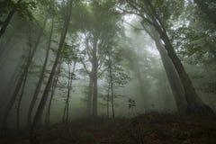 Dichter Nebel im beechen Holz Stockfoto