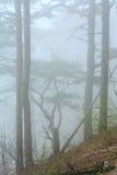 Dichter Nebel im Sommerkieferwald Stockfotografie