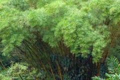 Dichter Standplatz der Bambusbäume von oben stockbild