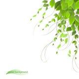 Dichtes Laub auf einem weißen Hintergrund, Kletterpflanzen Lizenzfreies Stockbild