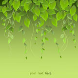Dichtes Laub, das an einem grünen Hintergrund, Kletterpflanzen, VE hängt Lizenzfreies Stockbild