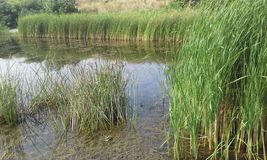 Dichtes Reed Stockbild