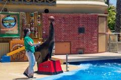 Dichtung/Seelöwe, der einen braunen Basketball auf seiner Nase in einem Pool bei San Diego Sea World in Kalifornien balanciert stockfoto