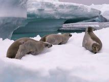 Dichtungen in Antarktik Stockfoto
