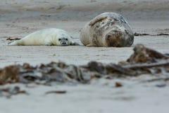 Dichtungen auf dem Strand auf Düneninsel nahe helgoland Lizenzfreie Stockfotografie