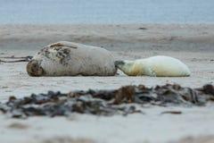 Dichtungen auf dem Strand auf Düneninsel nahe helgoland Lizenzfreie Stockfotos