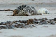 Dichtungen auf dem Strand in der Düneninsel nahe helgoland Stockbild