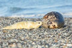 Dichtungen auf dem Strand in der Düneninsel nahe helgoland Lizenzfreie Stockbilder