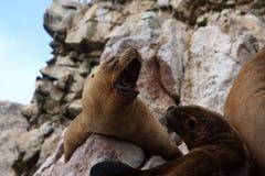 Dichtungen auf den Ballestas-Inseln, Peru Stockfotografie