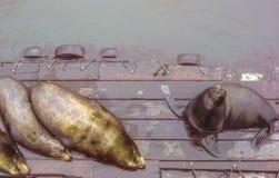 Dichtungen auf hölzernem Pier an der Konservenfabrik-Reihe, Monterey, Kalifornien Stockbilder