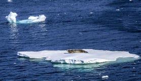 Dichtungen, die auf dem Schwimmen von ice-2 stillstehen Stockfotos