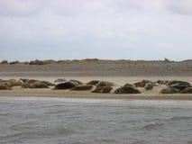 Dichtungen, die auf einem goldenen Strand liegen Stockbild