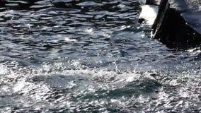 Dichtungen, die zwischen das Wasser des ruhigen Sees springen stock video