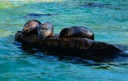 Dichtungen in einem Pool in Berlin Zoo Lizenzfreie Stockfotos