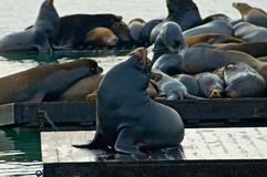 Dichtungen an Francisco-Pier 39 Lizenzfreies Stockfoto