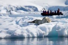 Dichtungsleben in Antarktik Stockfoto