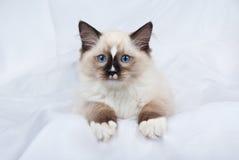 Dichtungspunkt Ragdoll Kätzchen auf weißem Gewebe Stockfotografie