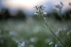 12, diciembre de 2016 - la flor de la mostaza blanca en la fuga Dong Vietnam de Dalat- Foto de archivo libre de regalías