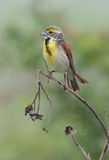 Dickcissel photos stock