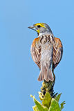 Dickcissel Stock Photo