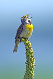 Dickcissel Royalty Free Stock Images