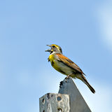 Dickcissel Royalty Free Stock Photo