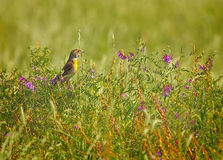 Dickcissel and Flowers Royalty Free Stock Photography