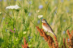 Dickcissel Royalty Free Stock Image