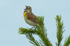 Dickcissel Royalty Free Stock Photography