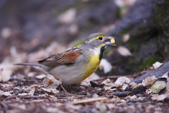 Dickcissel (Spiza americana) Stock Photo
