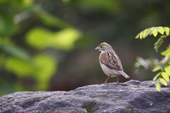Dickcissel (Spiza americana) Royalty Free Stock Image