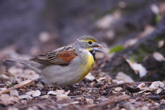 Dickcissel (Spiza americana) Stock Images