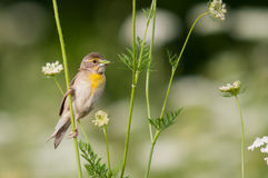 Dickcissel. Among the wildflowers stock photography