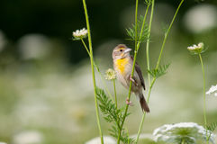 Dickcissel. Among the wildflowers stock photo