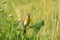 Dickcissel. Among the wildflowers royalty free stock photo