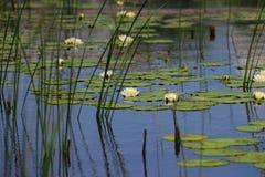 Dickichte von weißen Lilien im Teich Stockfoto