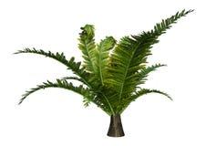 Dicksonia Fern Plant de la representación 3D en blanco Fotos de archivo