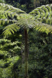 Dicksonia sellowiana, the great fern of the Americas. Samambaia-xaxim, Dicksonia sellowiana, exuberant fern, native of Central America and the Atlantic Forest royalty free stock image