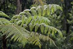 Dicksonia sellowiana, the great fern of the Americas. Samambaia-xaxim, Dicksonia sellowiana, exuberant fern, native of Central America and the Atlantic Forest stock photo