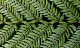 Dicksonia squarrosa Wheki. NZ Fern. Royalty Free Stock Photography