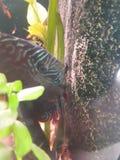 Dickus μωρών ψαριών στοκ εικόνες με δικαίωμα ελεύθερης χρήσης