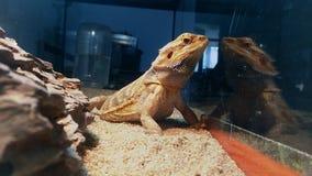Dickzungeneidechse das beste Tier-photomodel lizenzfreie stockbilder