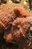 Dicosoma mushroom anemone. A colony of Discosoma mushroom anemones Stock Photography