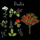 Παραδείγματα των dicots Στοκ Εικόνες